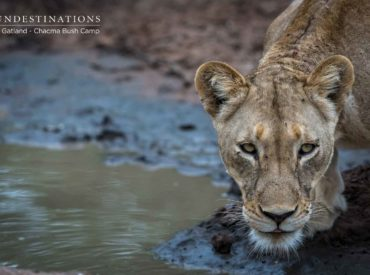 Before we plunge head first into the tremendous story of how 18 lions killed a waterbuck right outside Chacma Bush Camp – and how it subsequently led to abundant lion cub sightings in camp – we're going to give you a brief synopsis about this local pride. In total there are 18 lions spotted on […]
