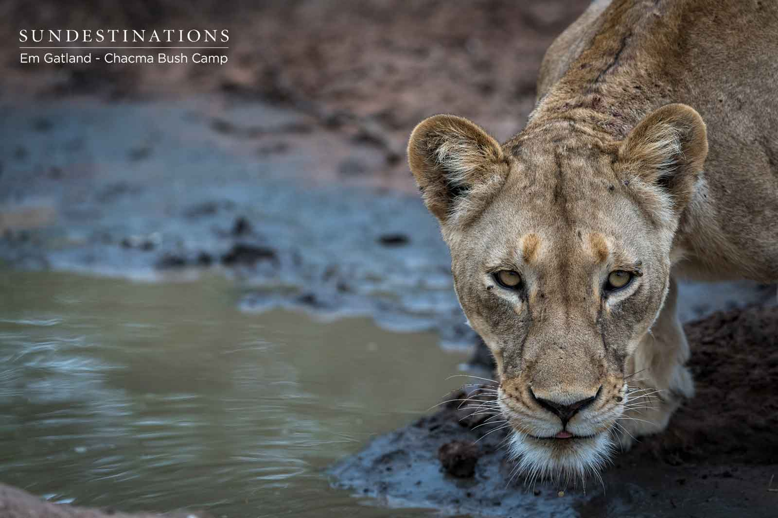 Chacma Lion Drinking at Waterhole