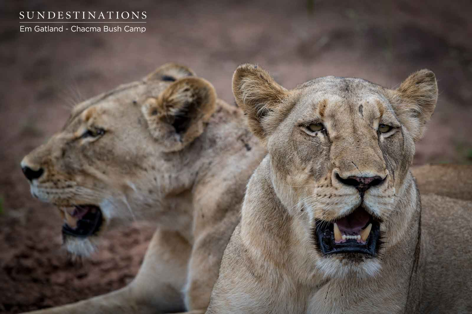 Chacma Lion Duo