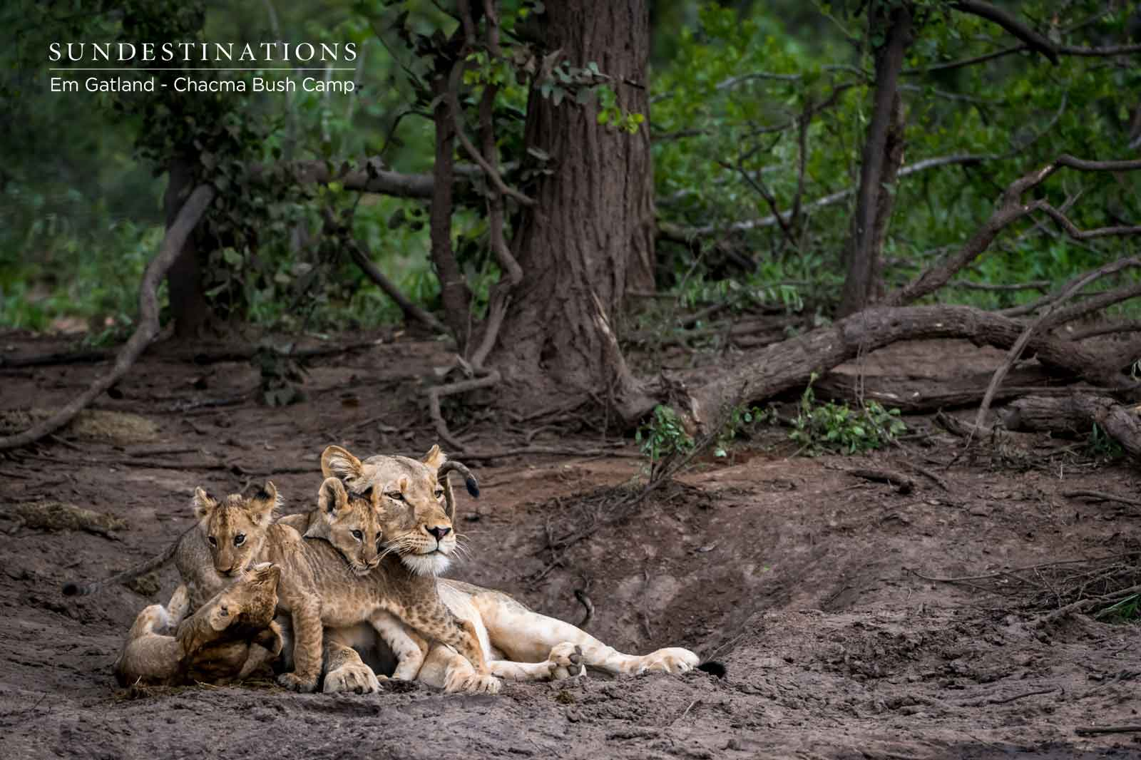 Chacma Lions