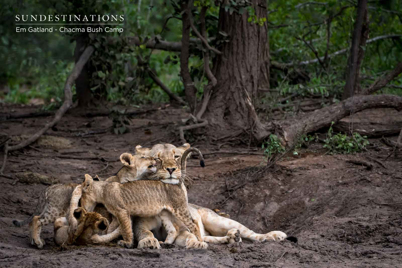 18 Lions and Cubs on a Waterbuck Kill at Chacma