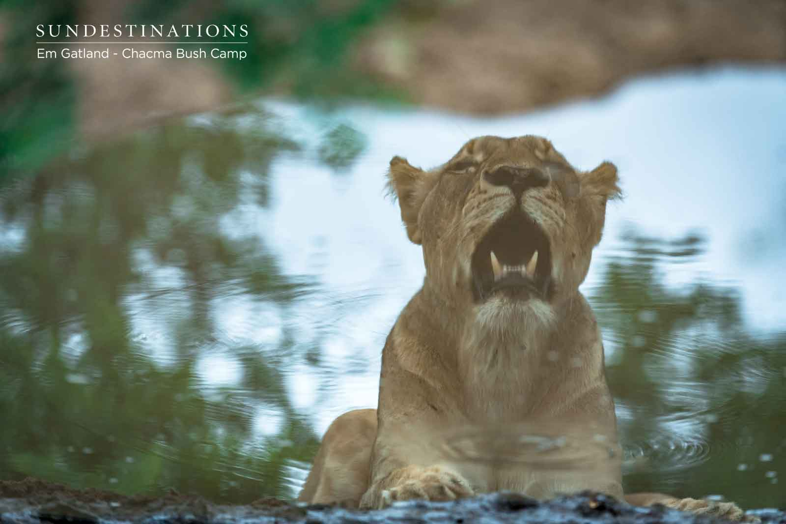 Lion Waterhole Reflection