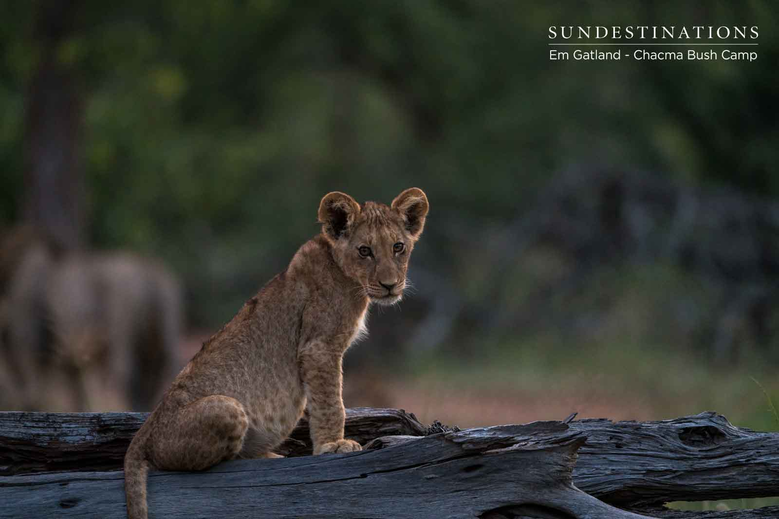 Lion Cub in the Maseke Game Reserve