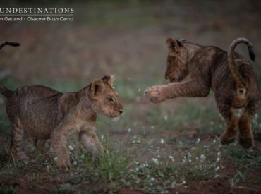 """Em Gatland has flooded our folders with images of the recent lion cub sightings at Chacma Bush Camp. Of the hundreds of images of cubs, there are a handful that we've deemed Instagram-worthy. Let's face it thought, most of em's images are """"Instagrammable"""", but these cub images are bound to take social media by storm. […]"""