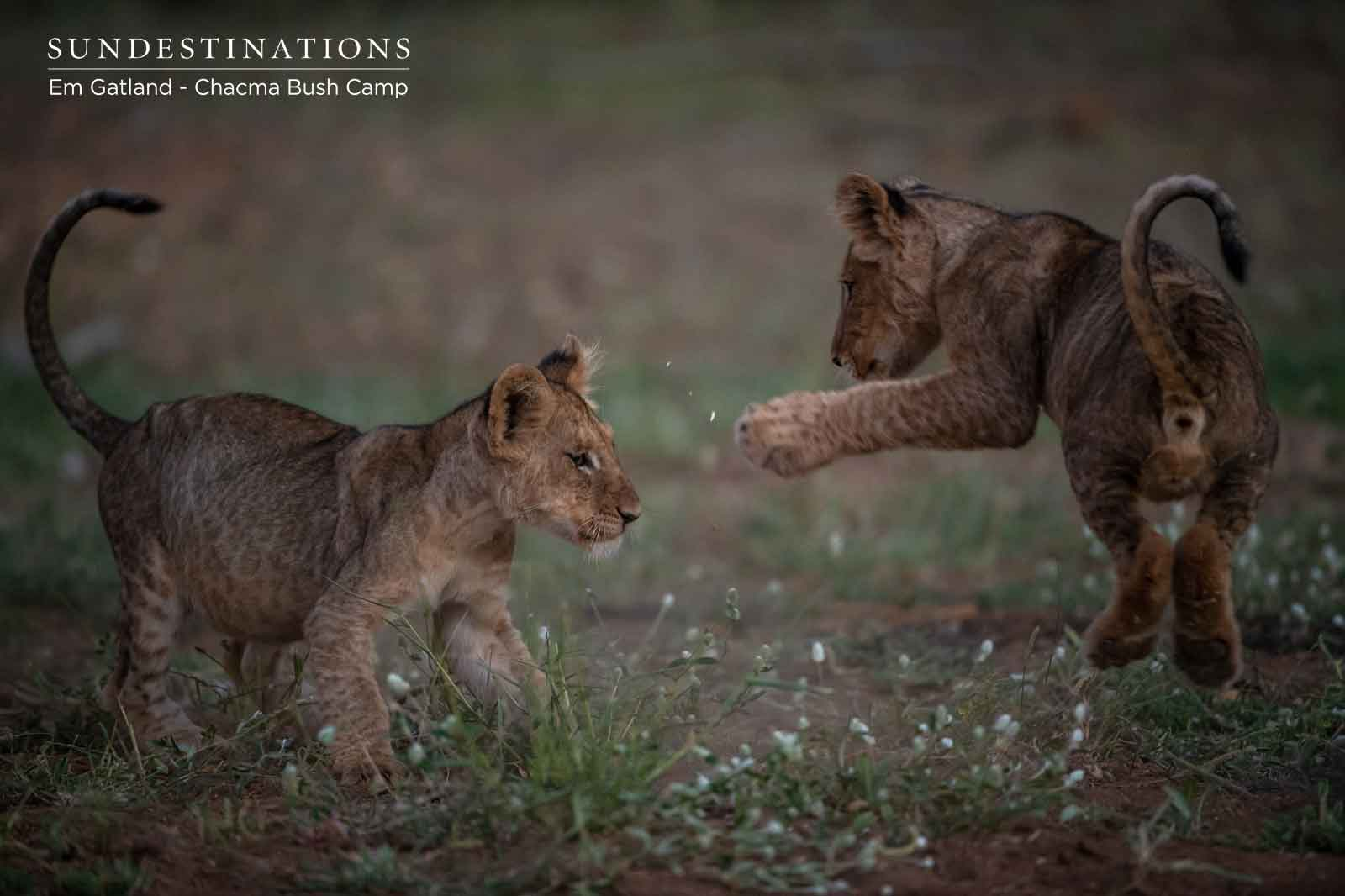 Lion Cubs Fighting int he Wild