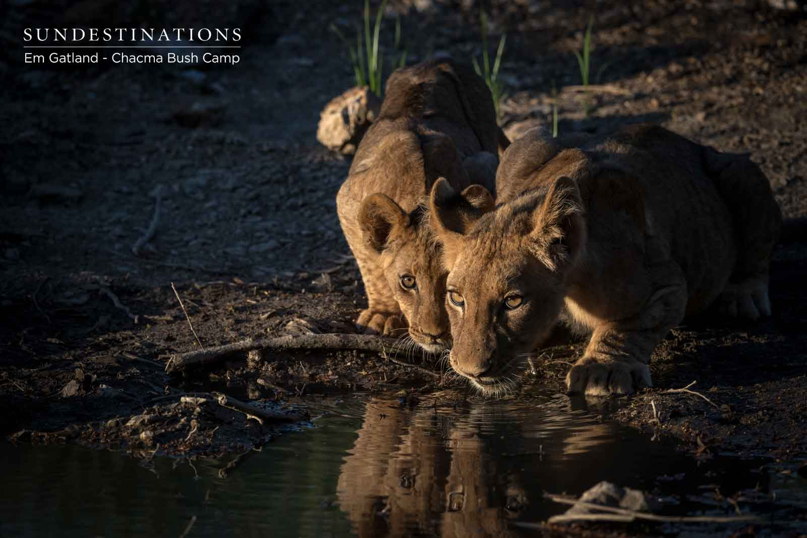 Lion Cubs Drinking at Waterhole