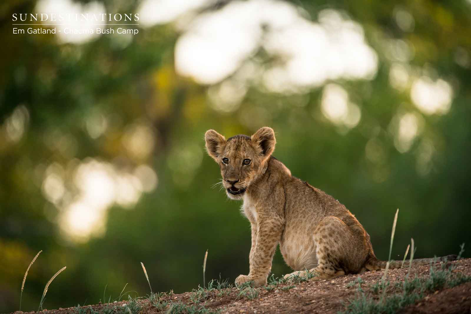 Lone Lion Cub at Chacma Bush Camp
