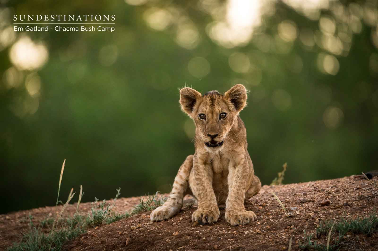 Our Top 14 Most Instagrammable Lion Cub Images from Chacma