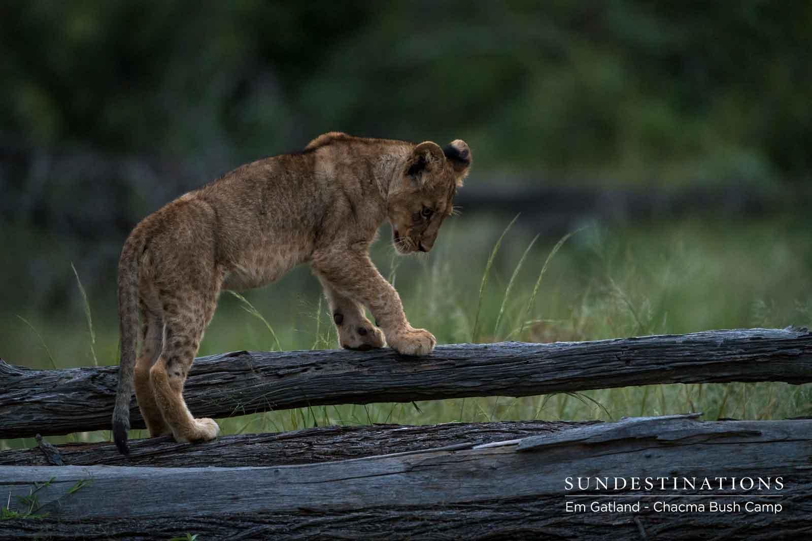 Lion Cub Explores Area