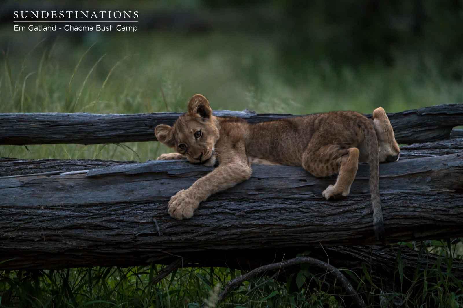 Lion Cub Rests on Branch
