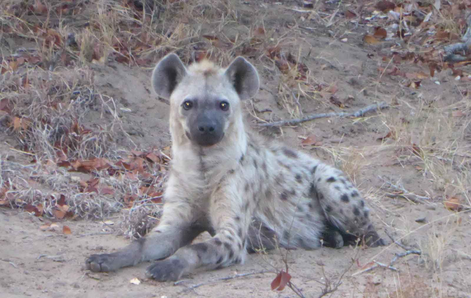 Hyena Spotted at Nsala