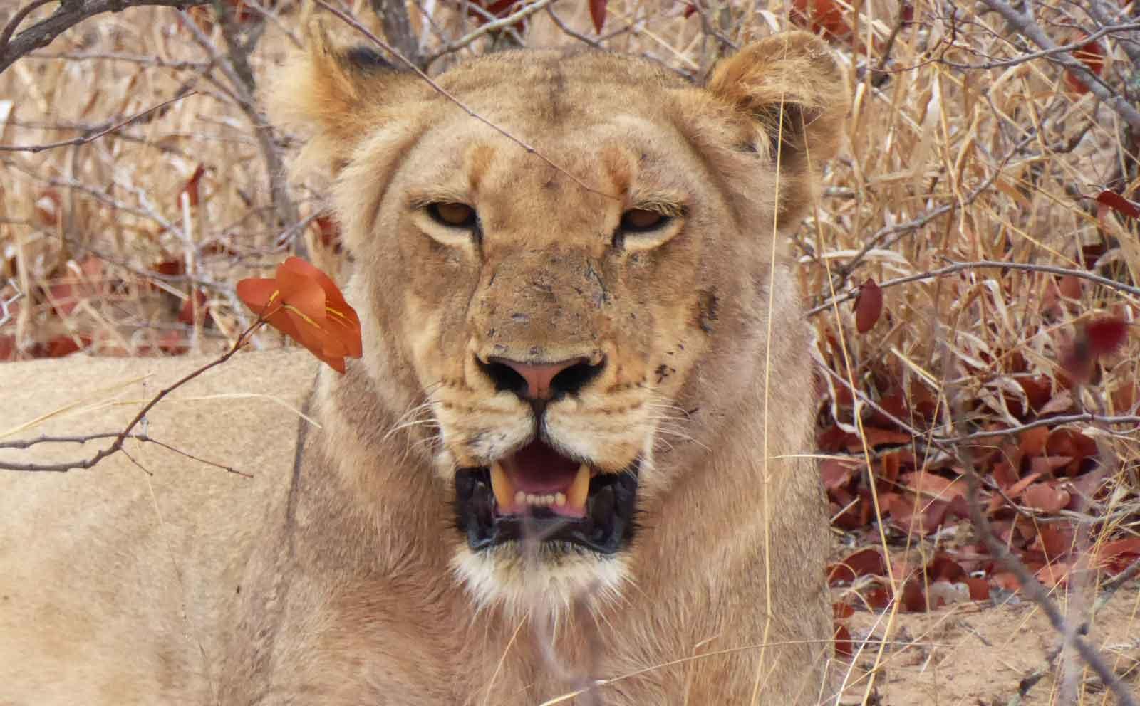 Nsala Lioness in Greater Kruger
