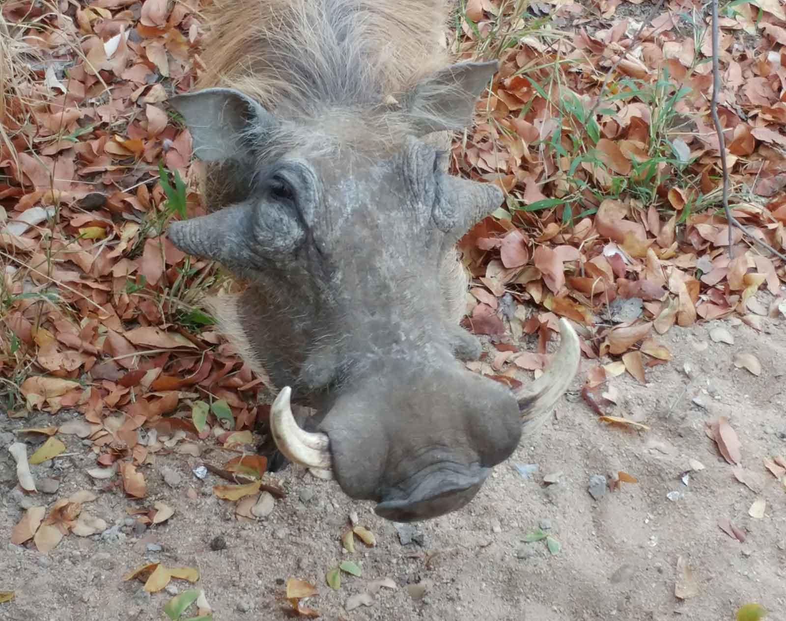 Local Warthog