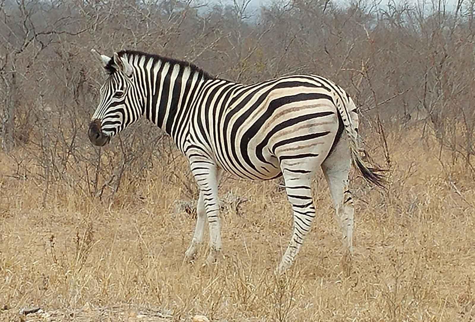 Nsala Plains Game Zebra