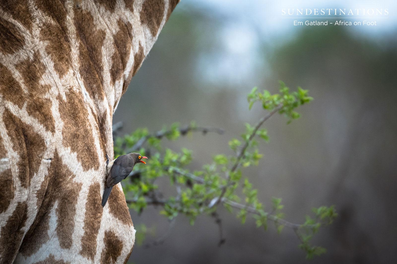 Africa on Foot Giraffe