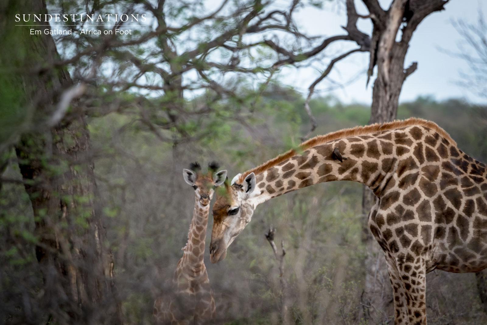 Giraffe Calf and Adult