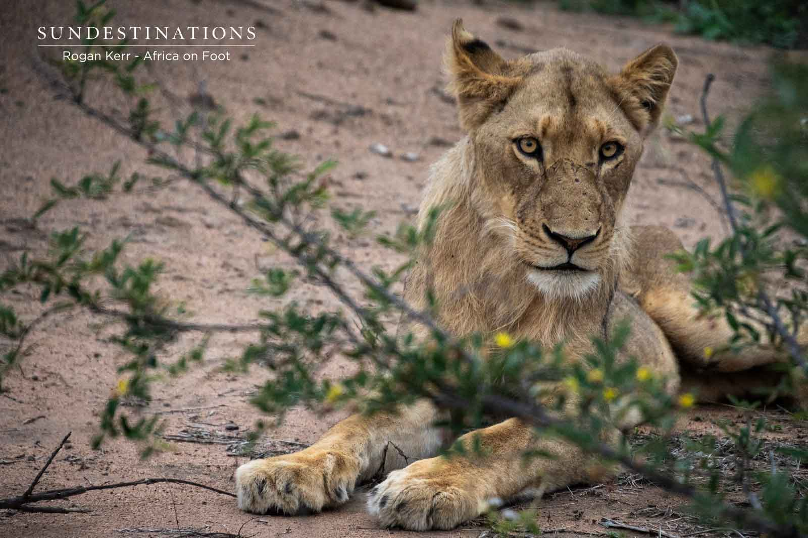 Sub-adult Lion Cub in Klaserie