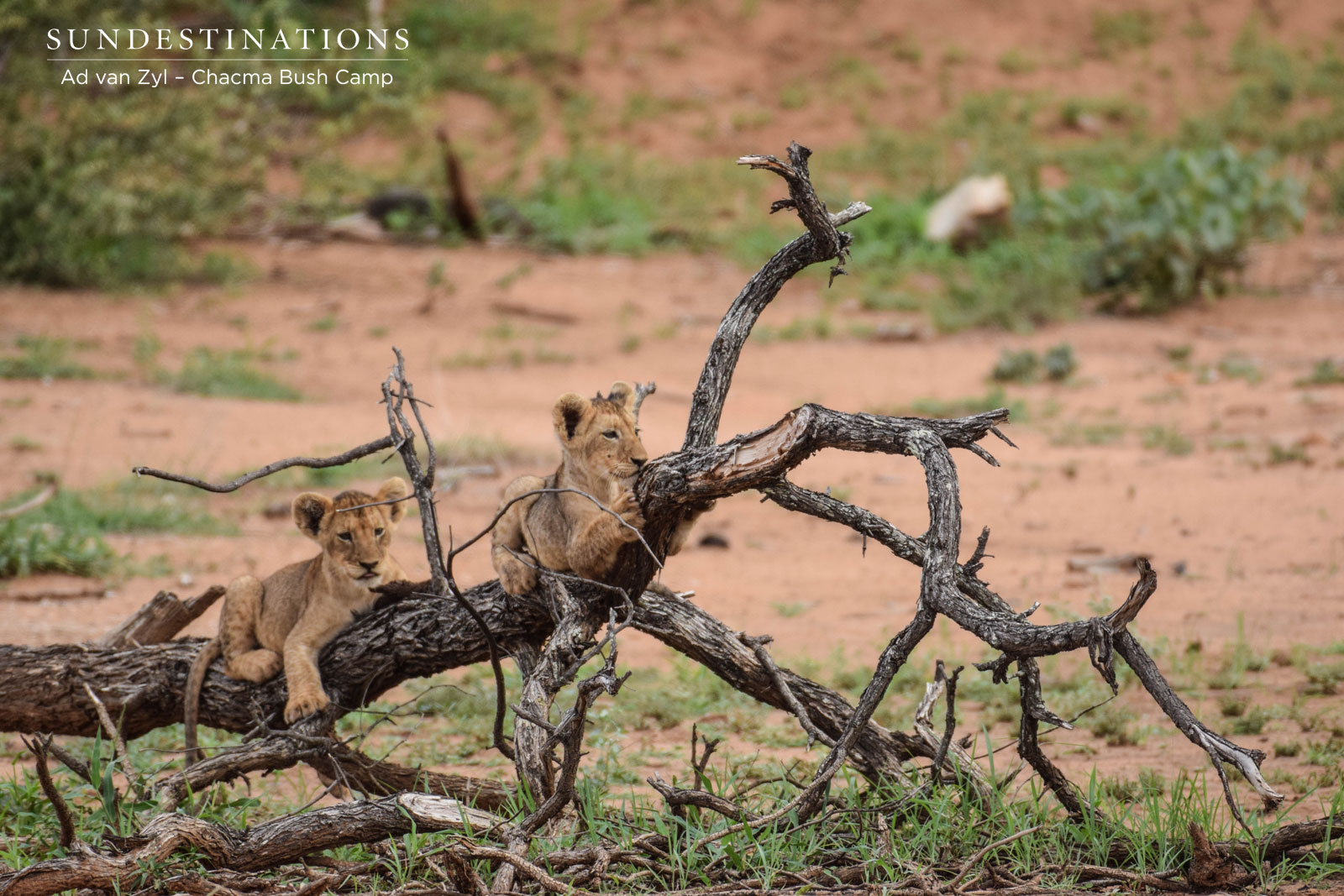 Lion Cubs in Trees