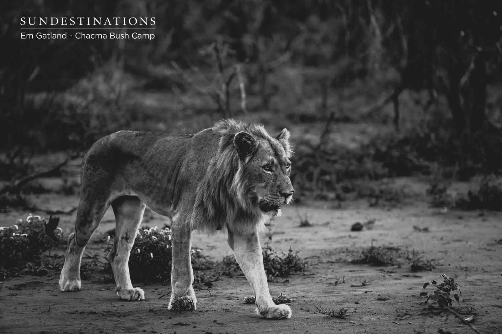 Male Lion at Chacma