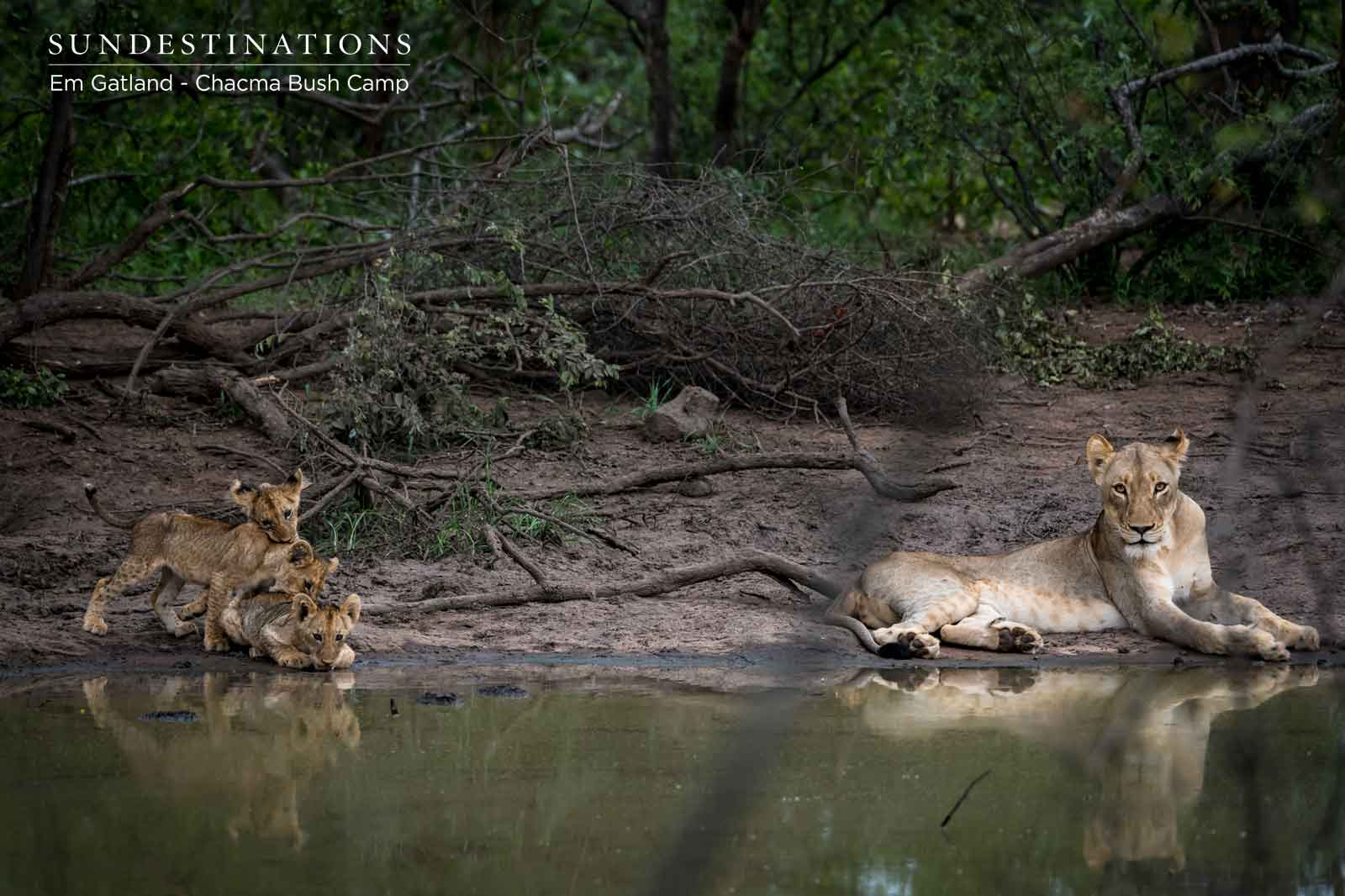 Chacma Lion Cubs