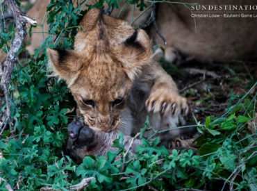 Lion cubs face a high mortality rate in the wild and are completely helpless when born, relying on their mother for nutrition and protection. Lionesses stash their cubs in den sites for the first few months of their life, ensuring they are protected from plundering scavengers and revengefultestosterone fuelled male lions seeking to take over […]