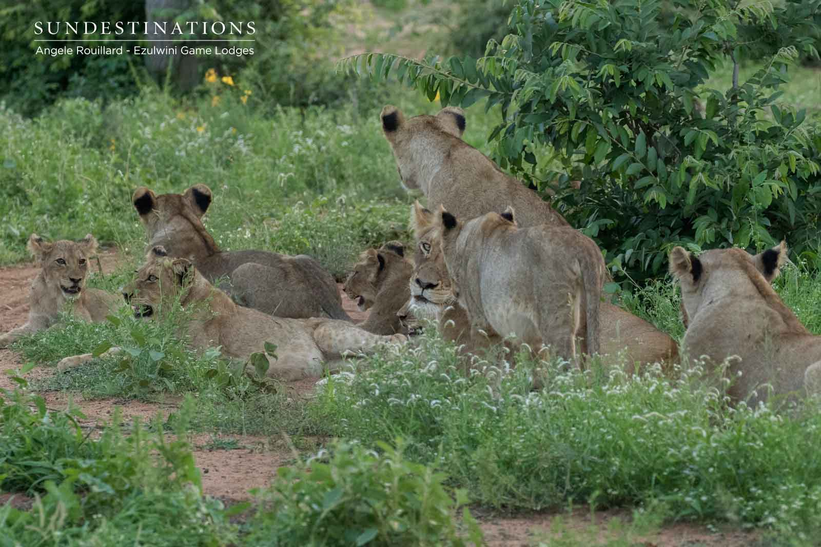 Kudyela Lionesses in Balule