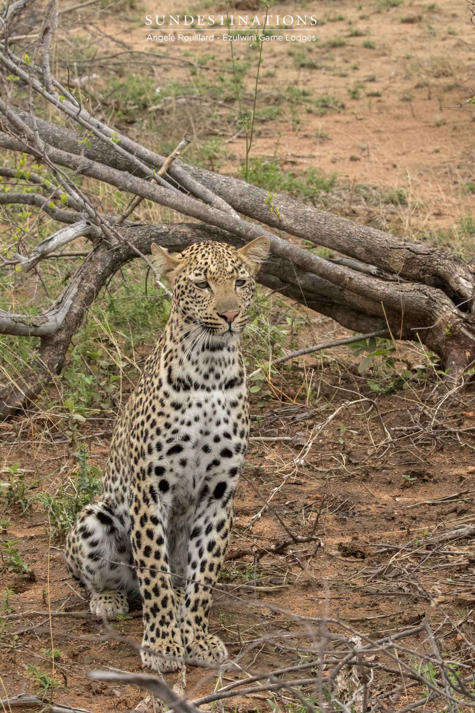 Unknown Leopardess at Ezulwini