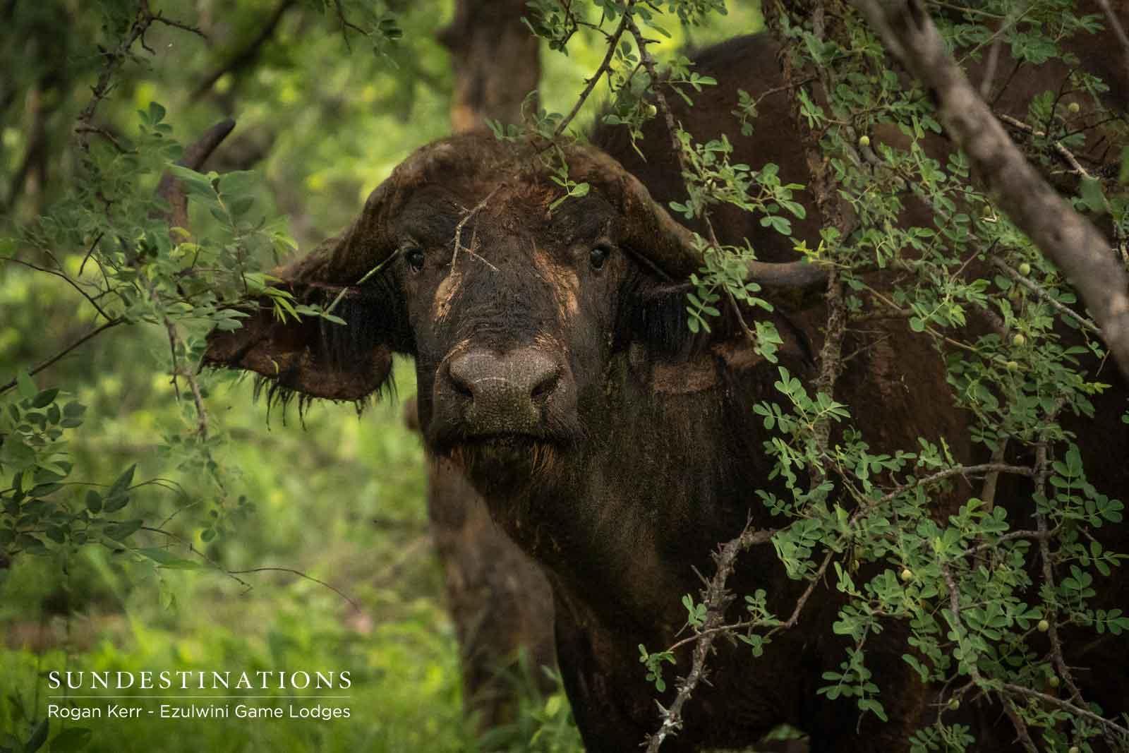 Ezulwini Buffalo