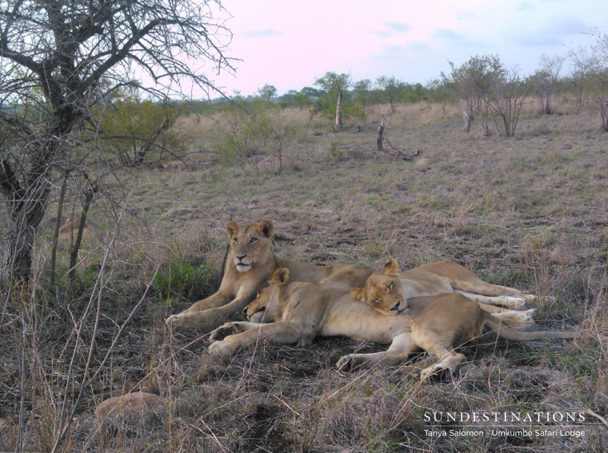 Southern Lionesses