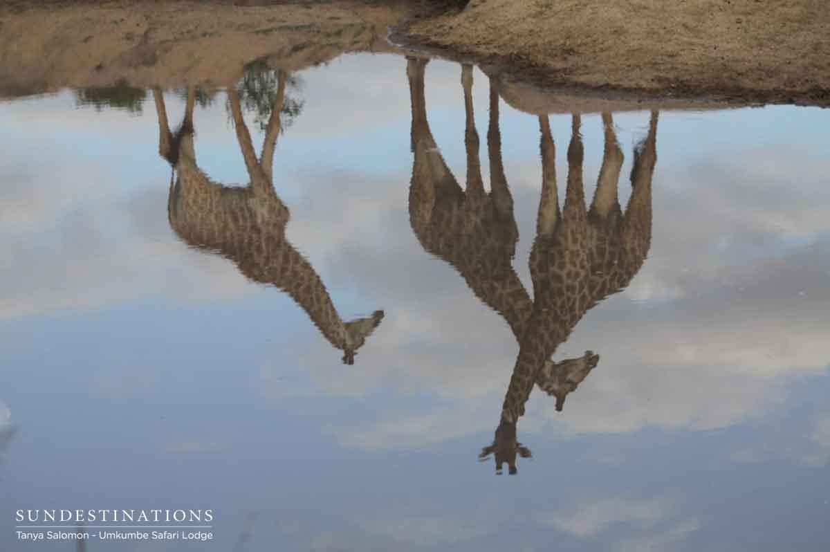 Umkumbe Giraffes
