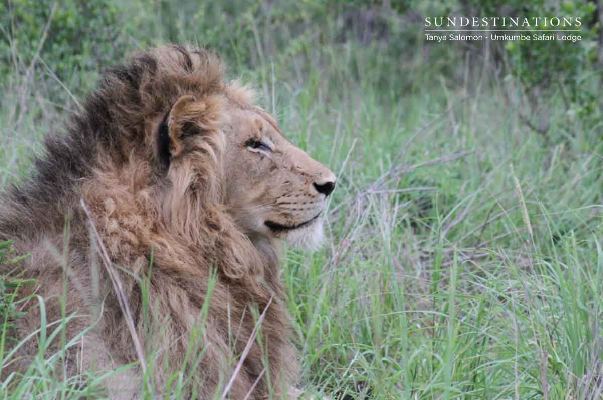 Umkumbe Lion Male