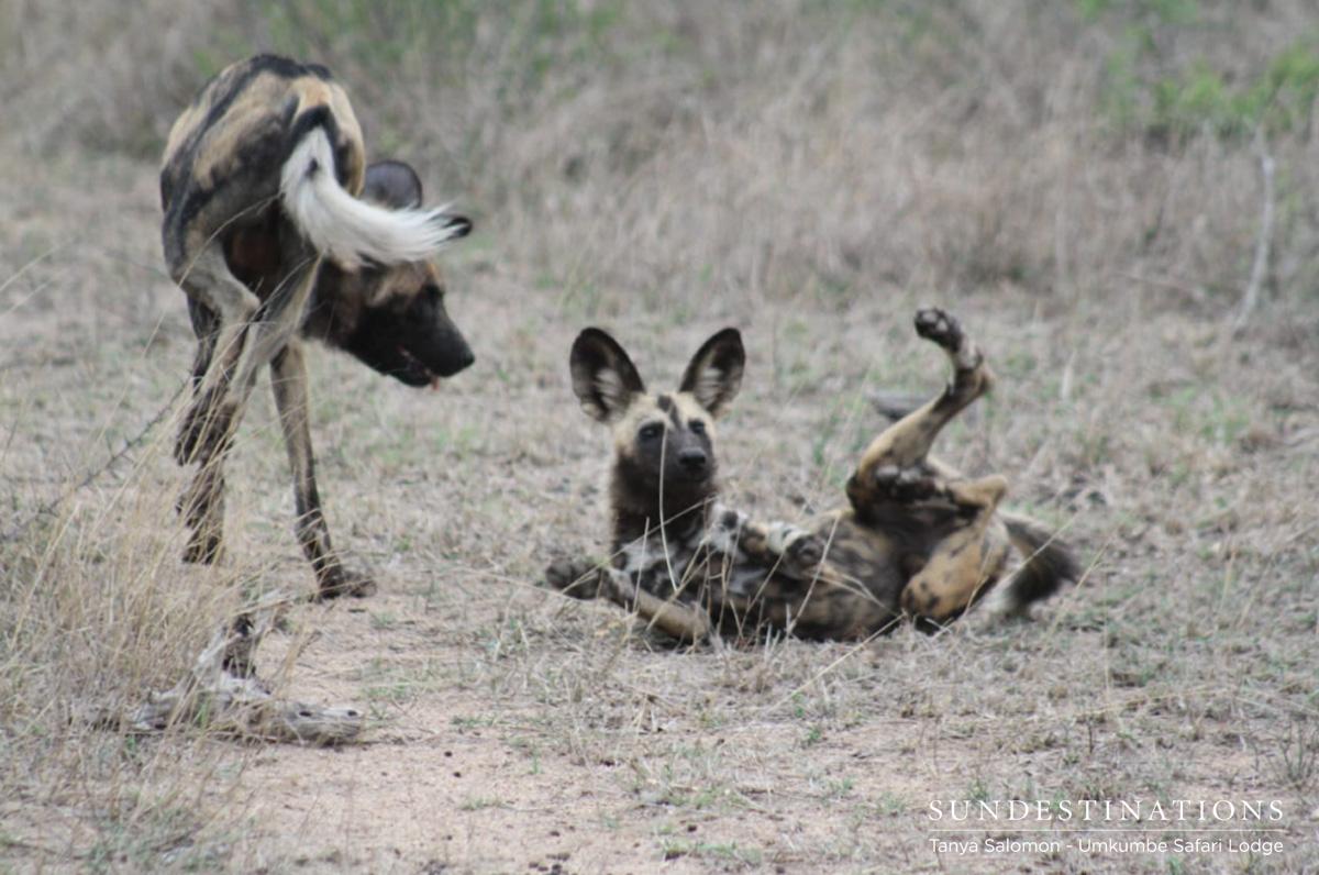 Wild Dogs at Umkumbe