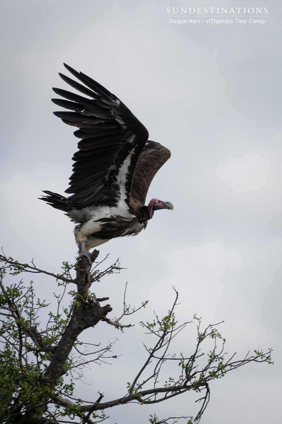 Hooded Vulture at nThambo