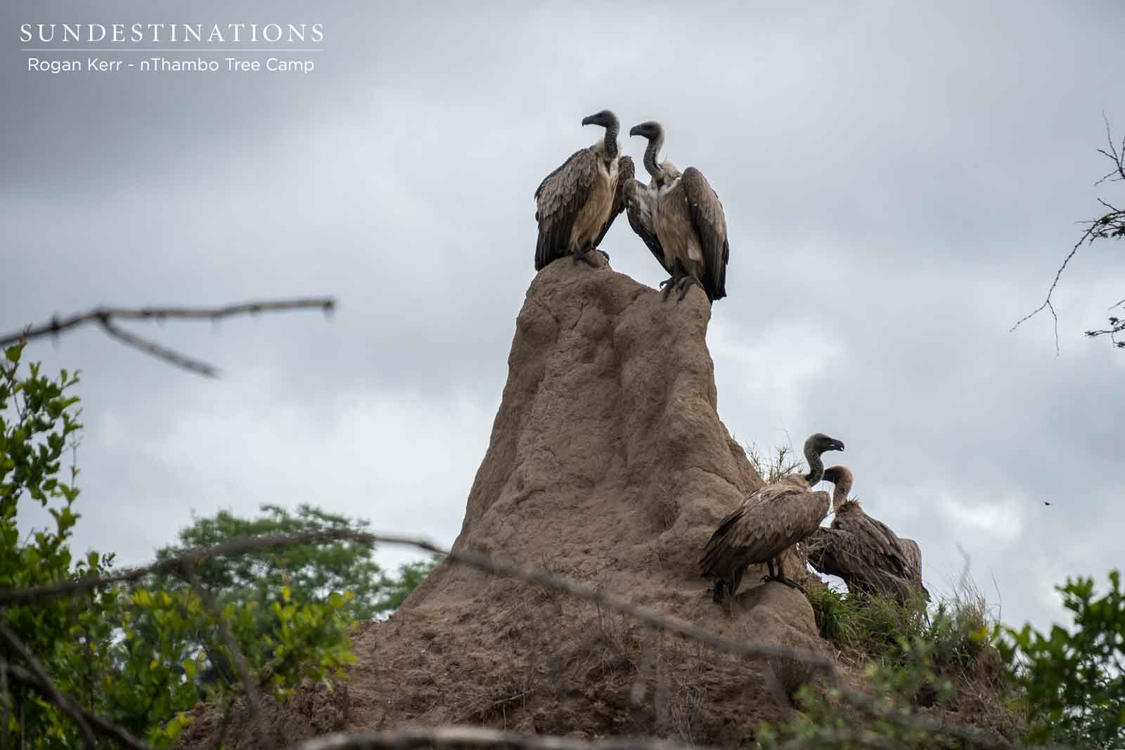 White-backed Vultures in Klaserie