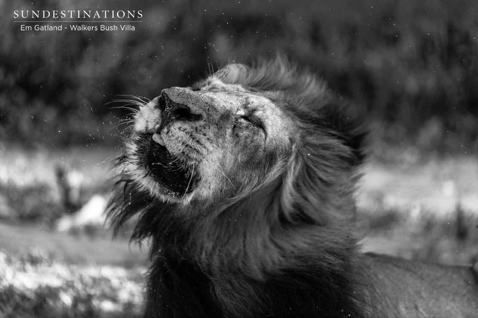 Black Dam Lion at Walkers Bush Villa