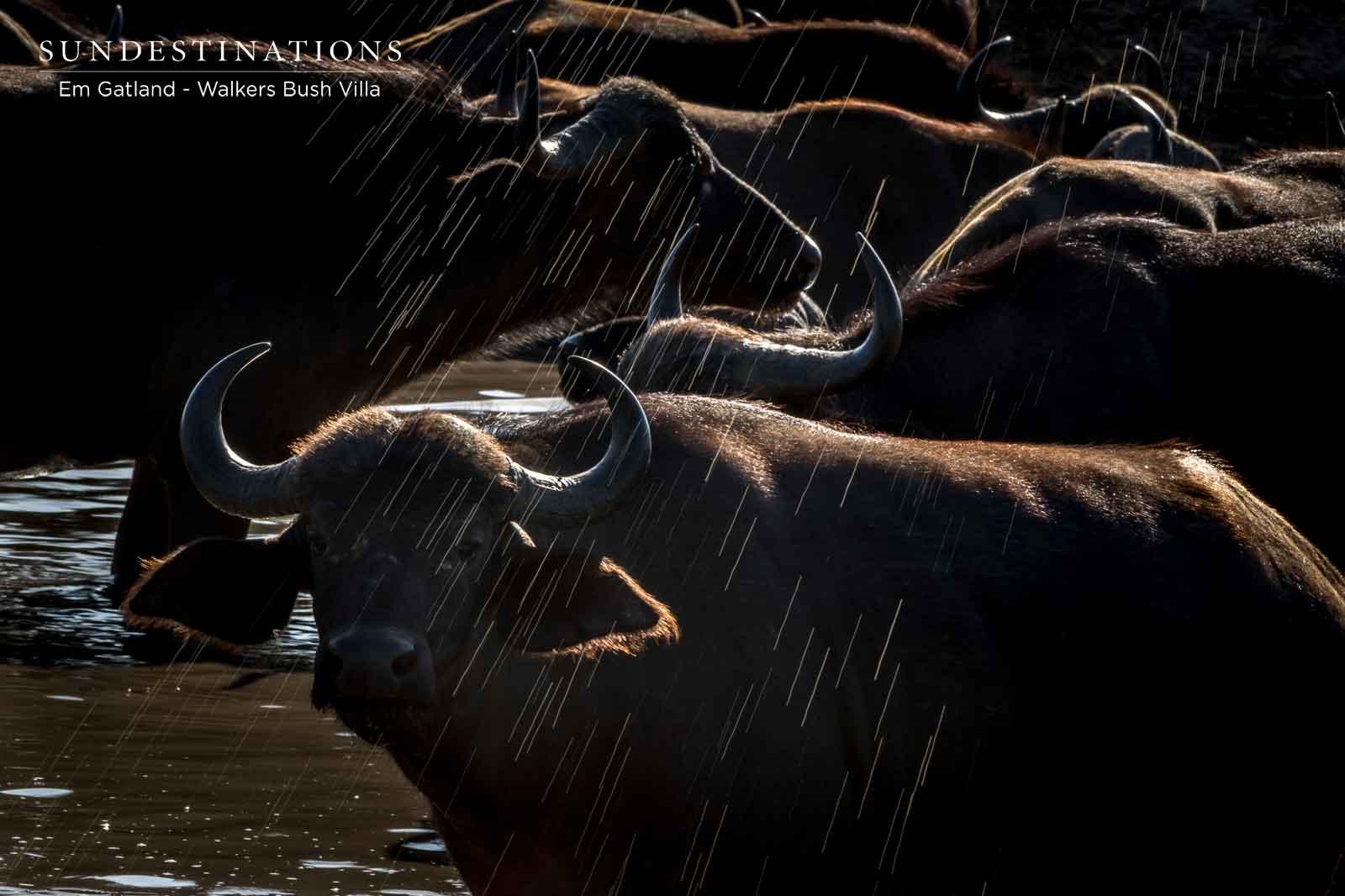 Buffalo Herds in Timbavati