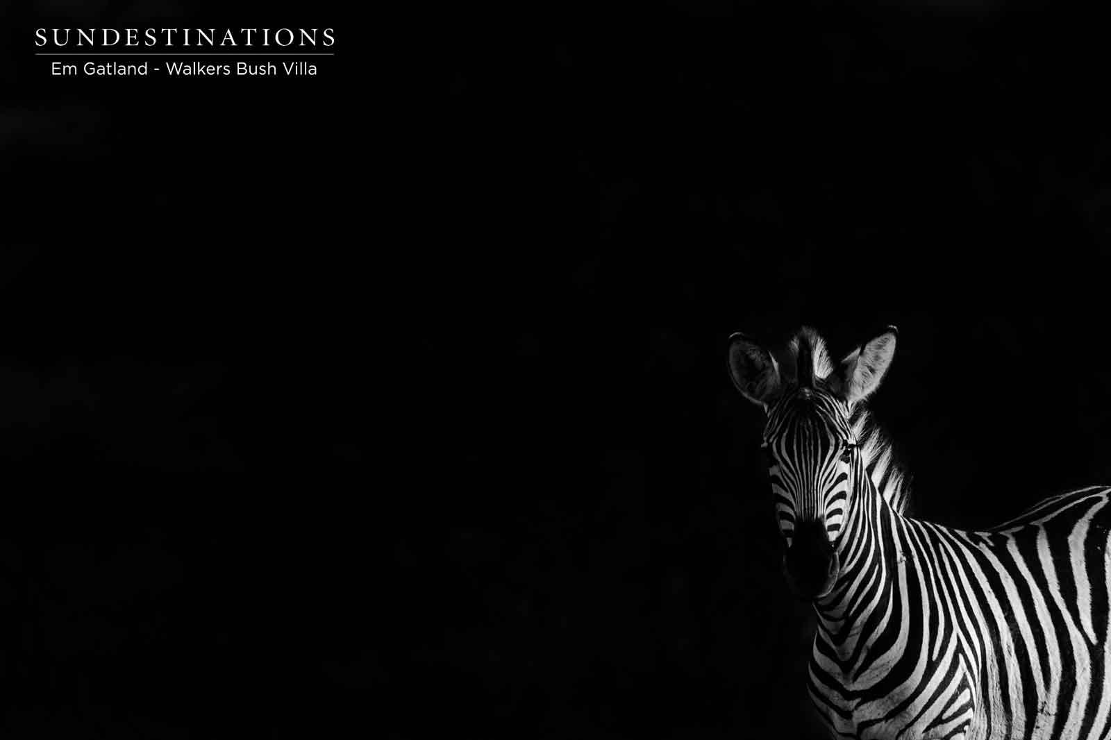 Zebra at Walkers Bush Vlla