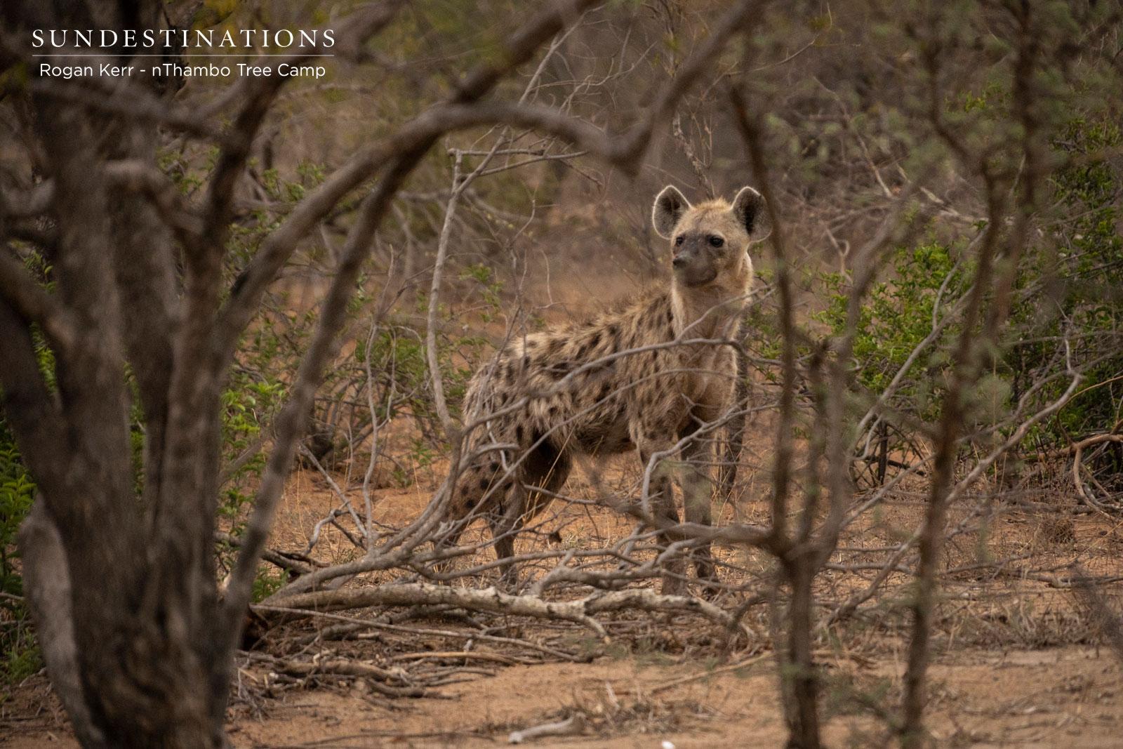 Hyena at nThambo