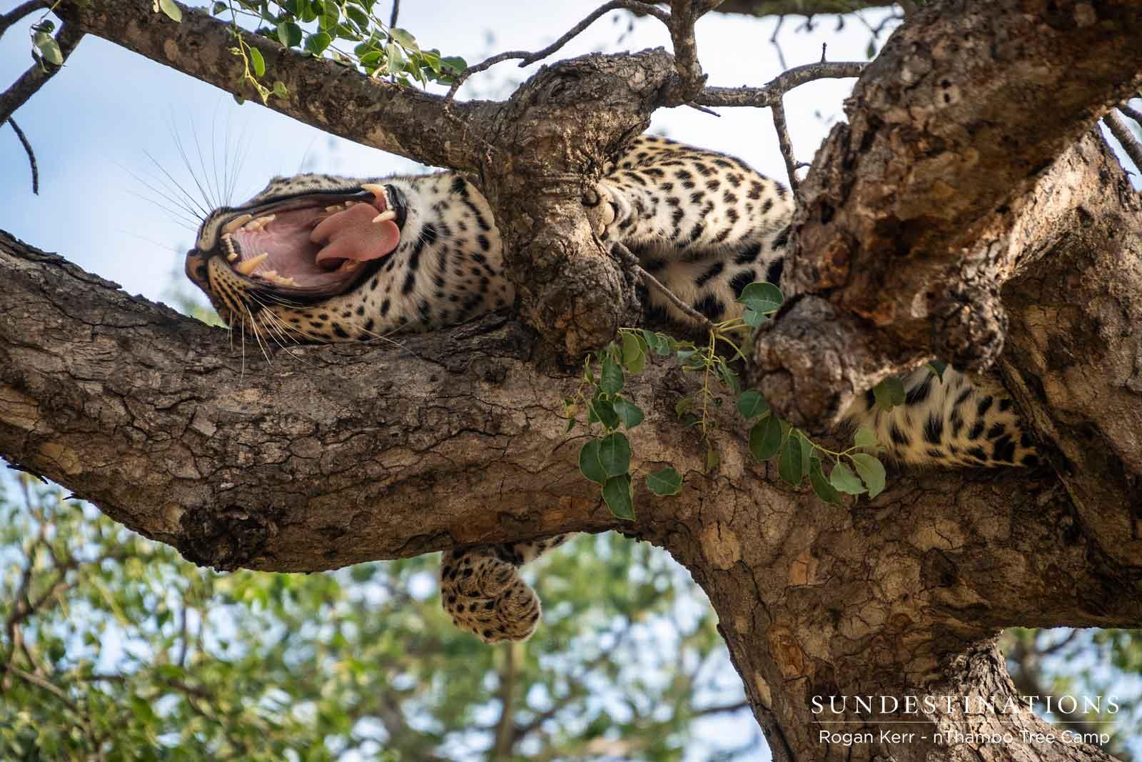 nThambo Nyeleti in Tree