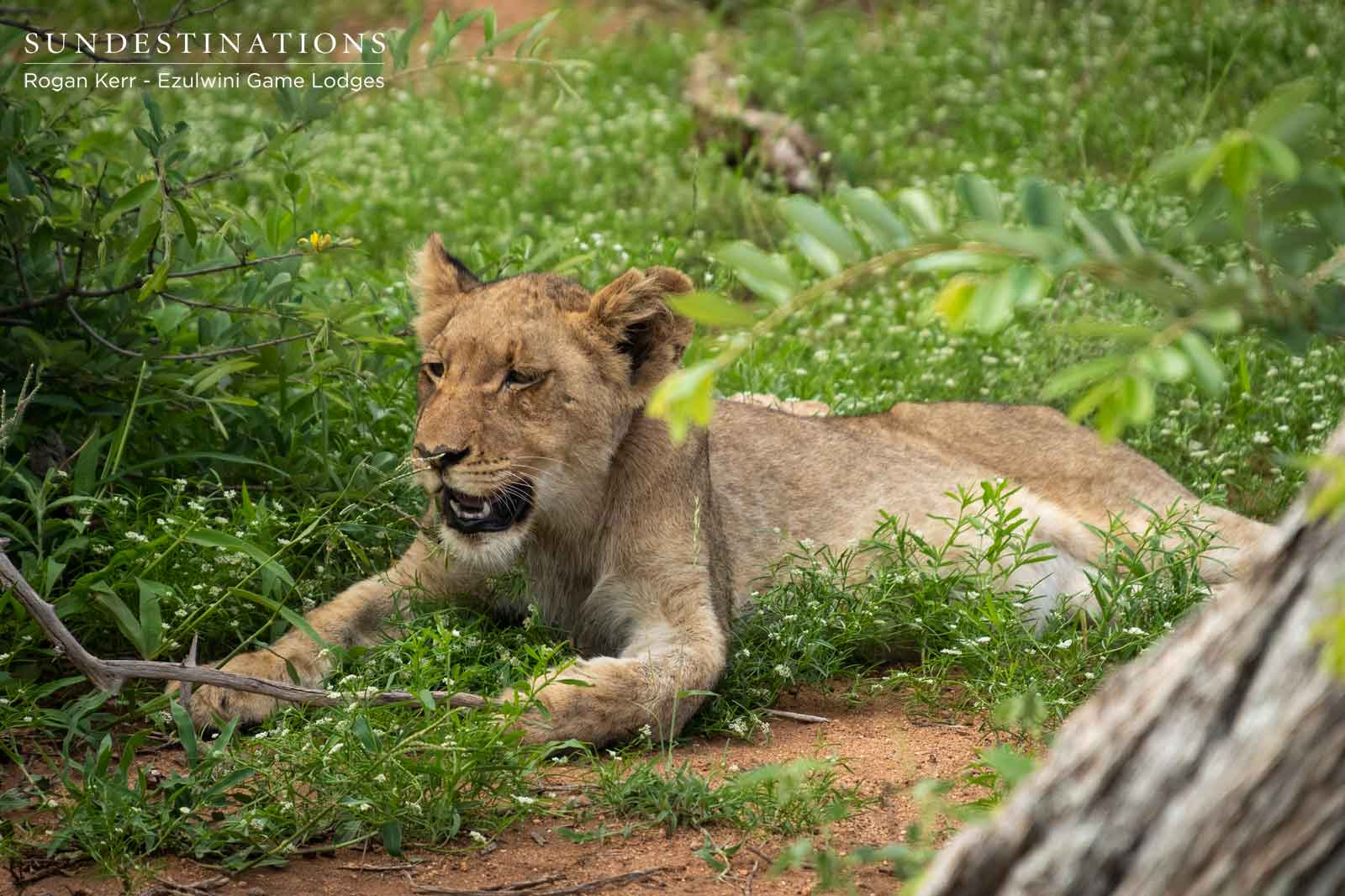 Lion Cubs in Balule