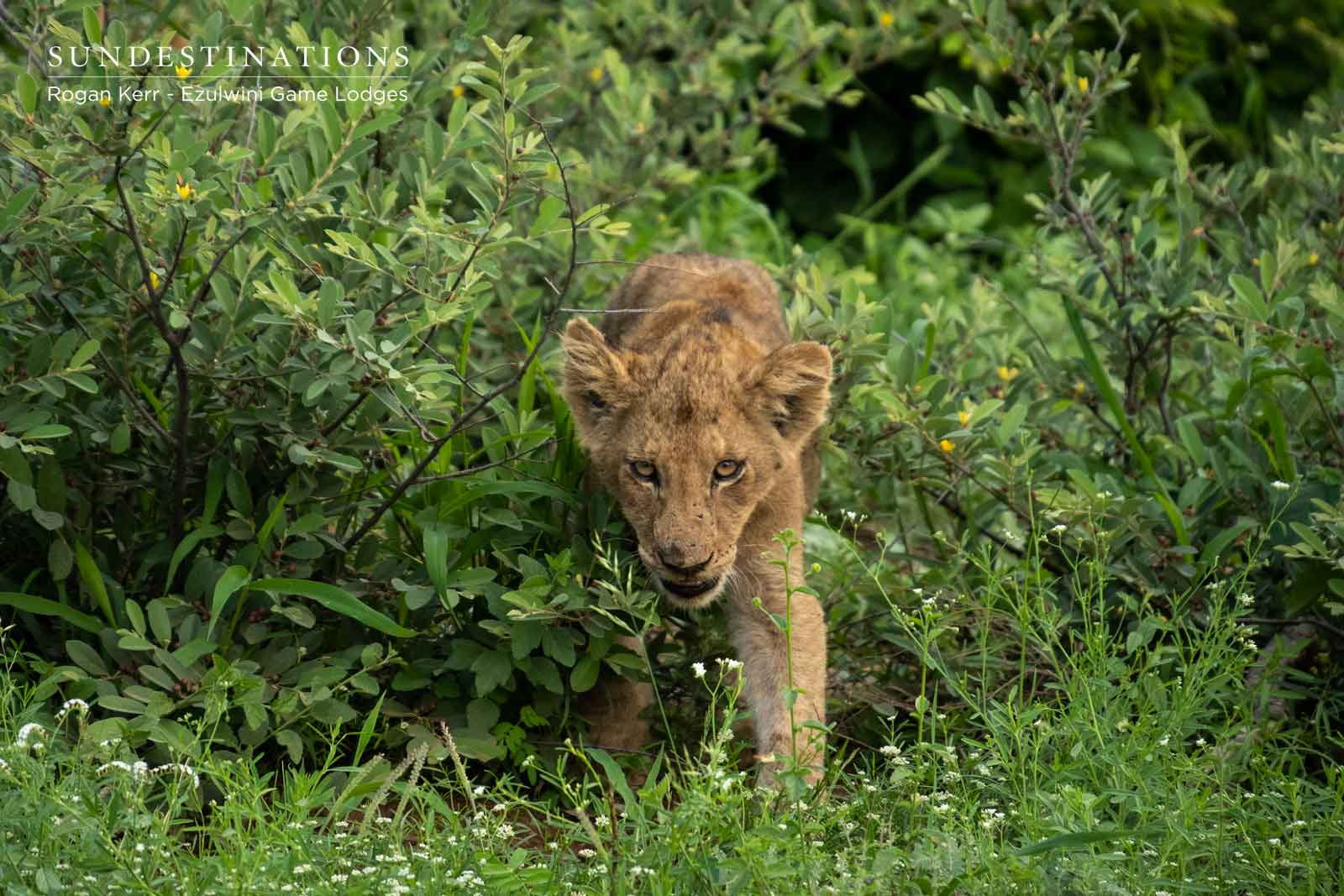 Lion Cub in Shrubbery