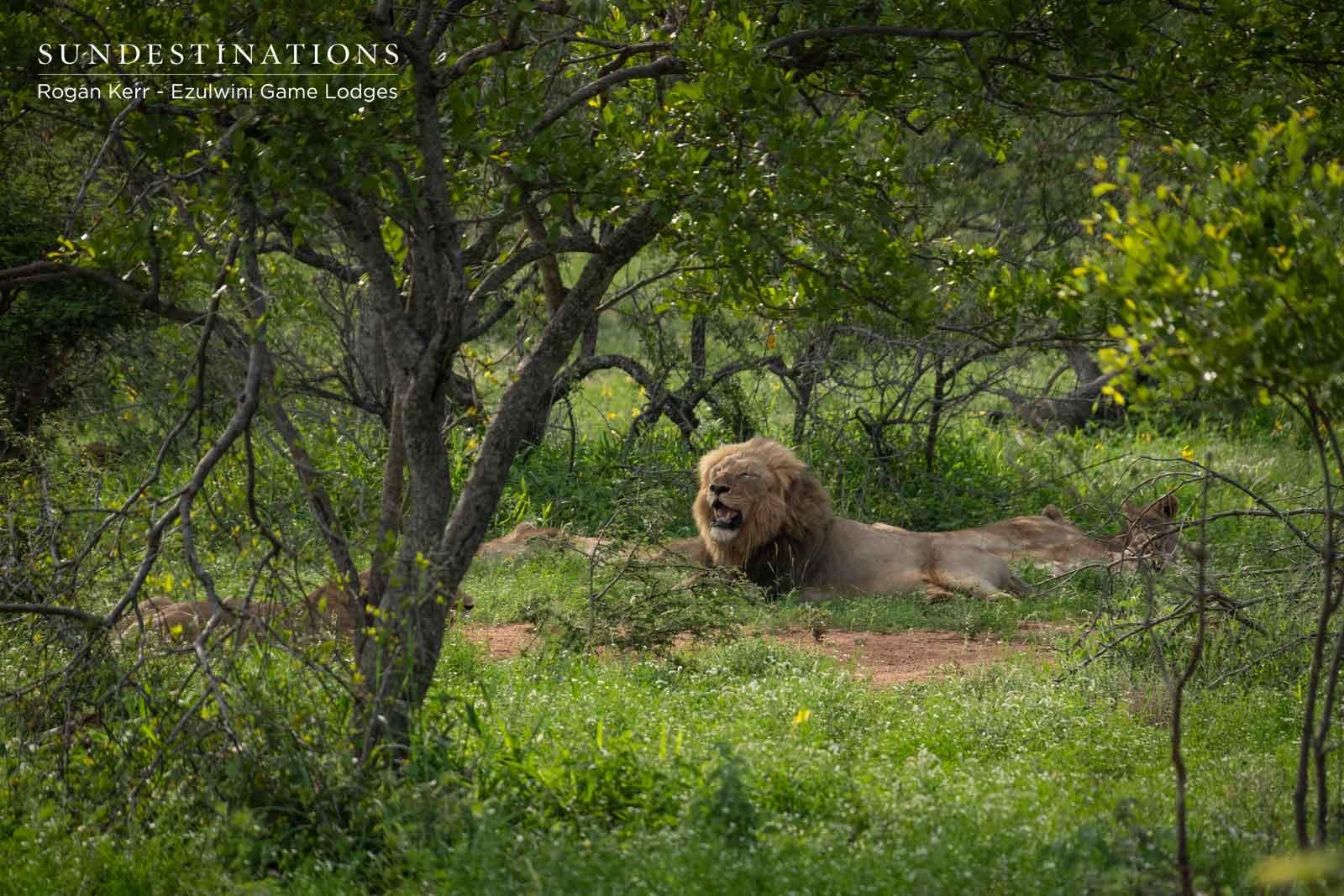 Machaton Male Lions - Ezulwini