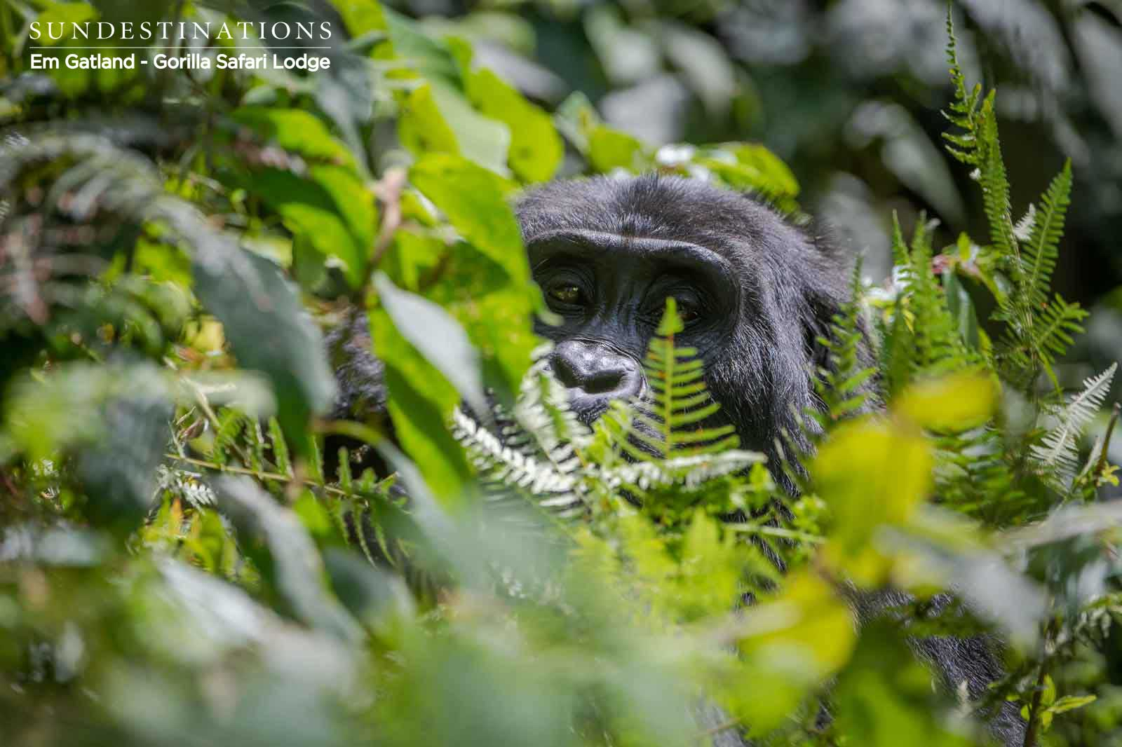 Gorilla Portraits from Trekking in Bwindi Impenetrable Forest