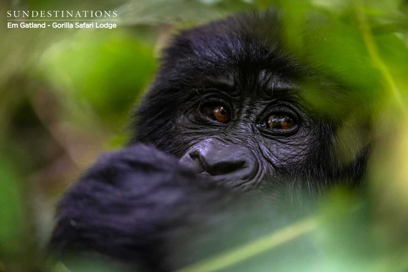 Face of Gorillas in Uganda