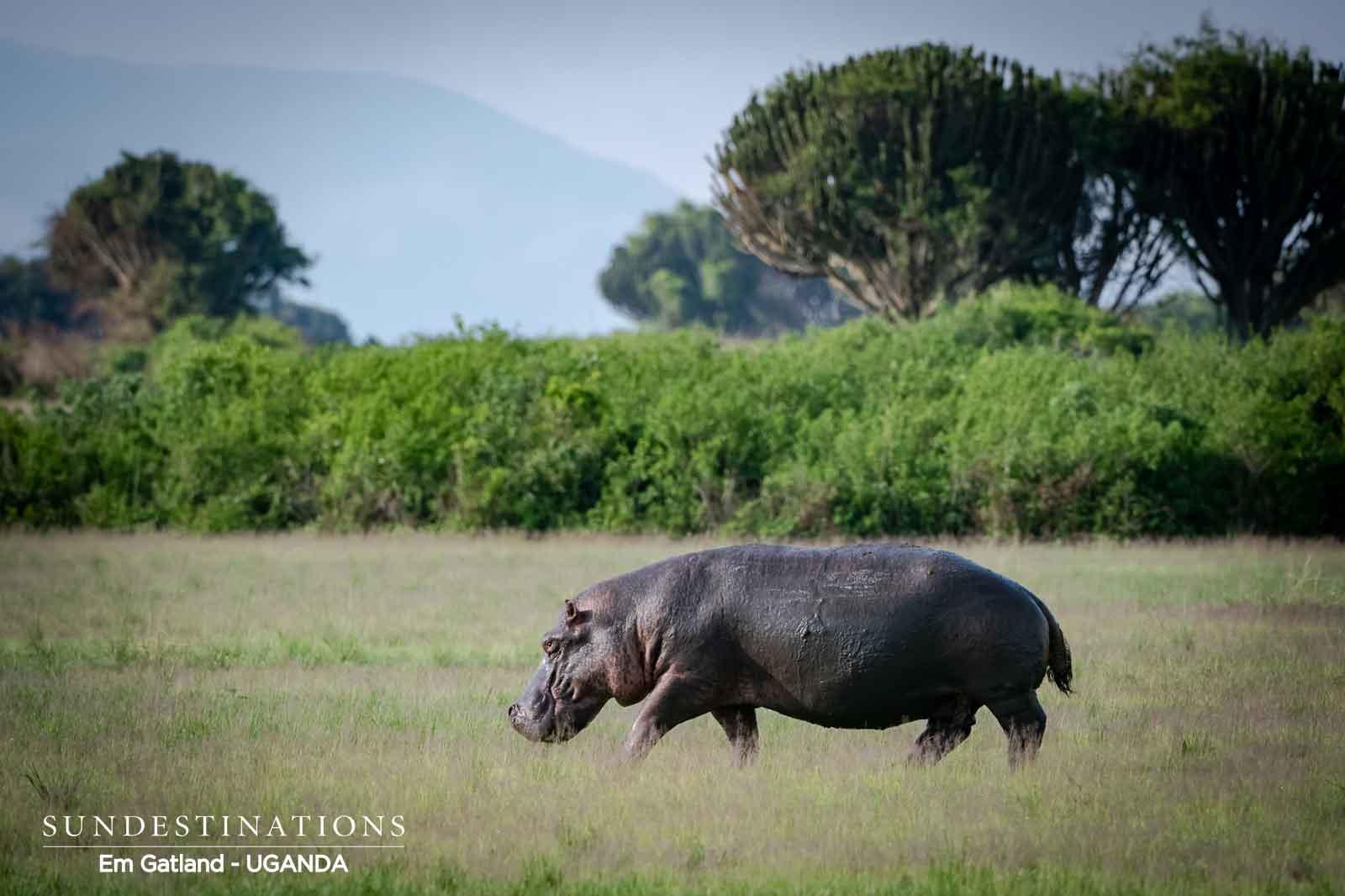 Queen Elizabeth Hippos