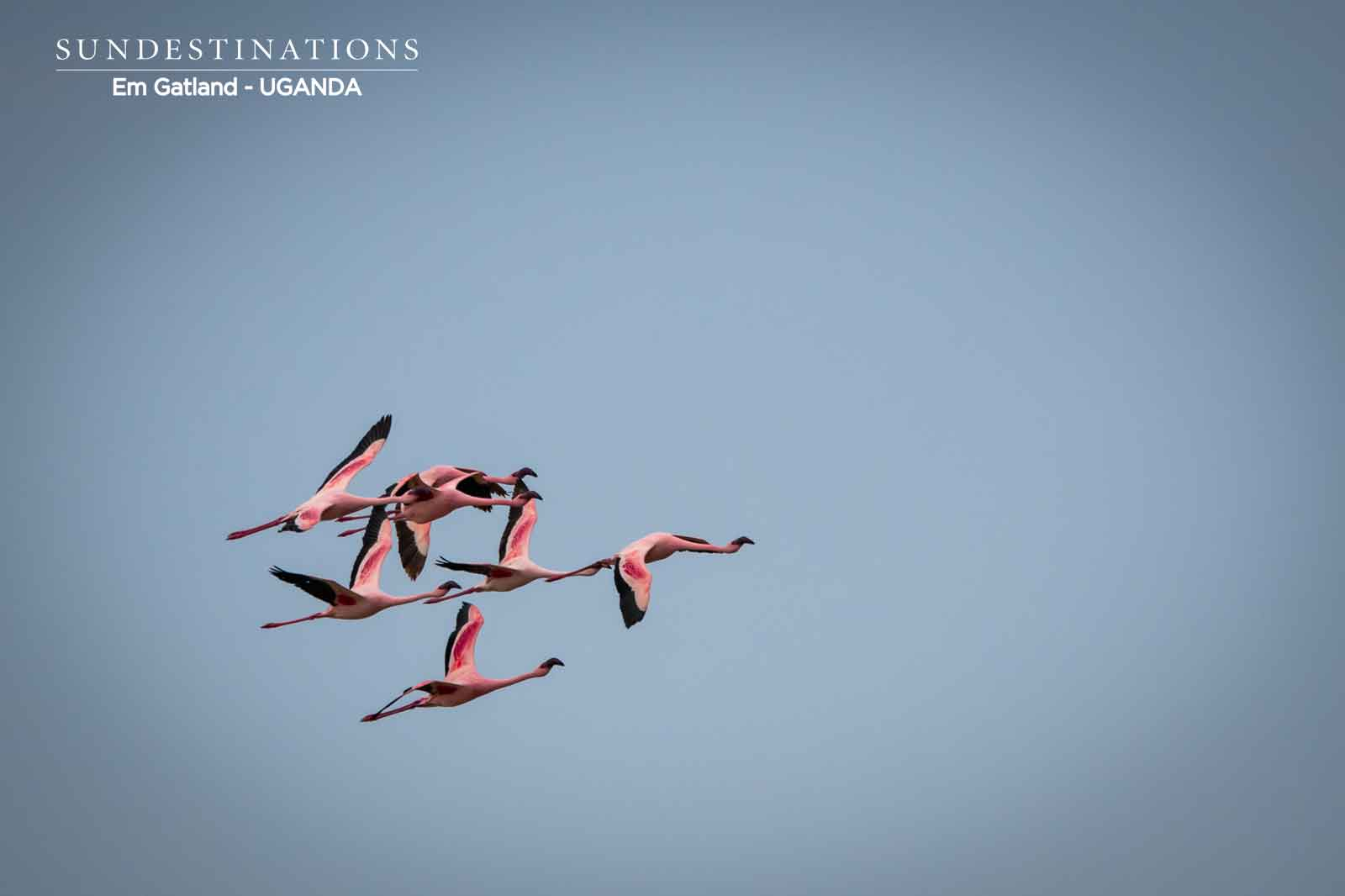 Queen Elizabeth Park Flamingoes in Flight