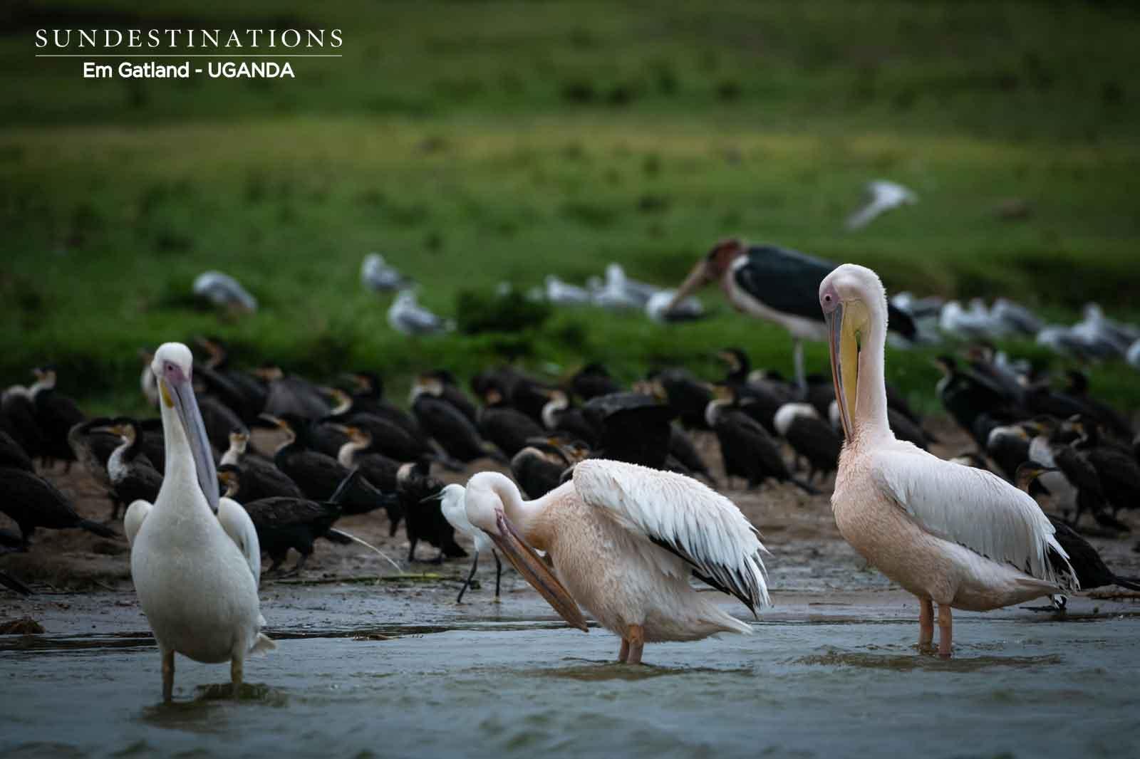 Queen Elizabeth Pelicans