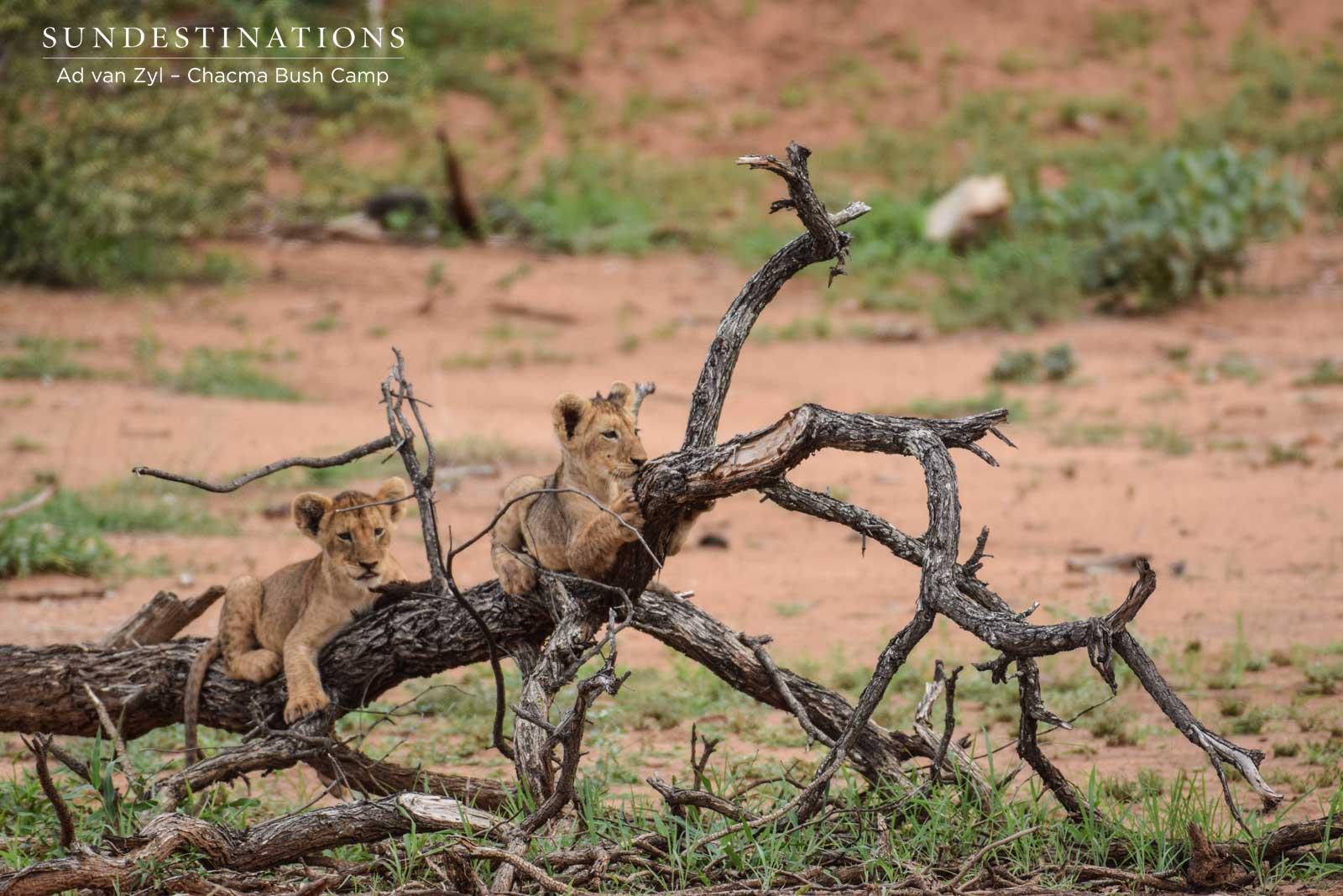 Lion Cubs at Chacma Bush Camp