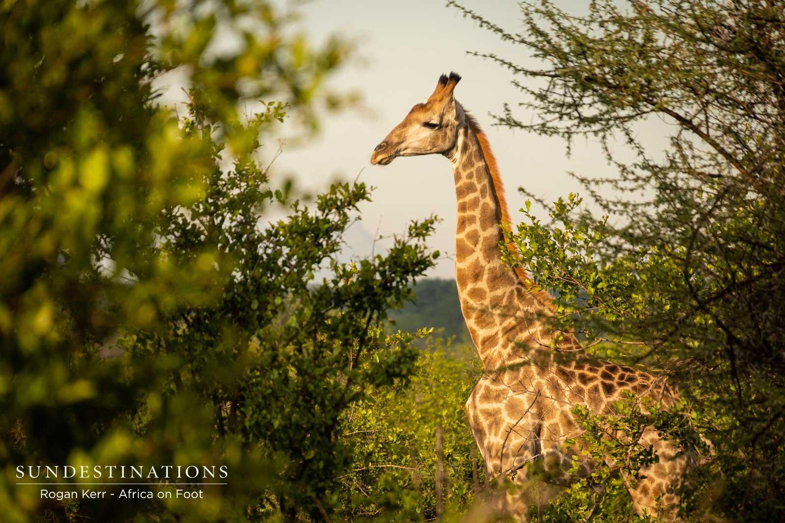 Giraffe - Africa on Foot