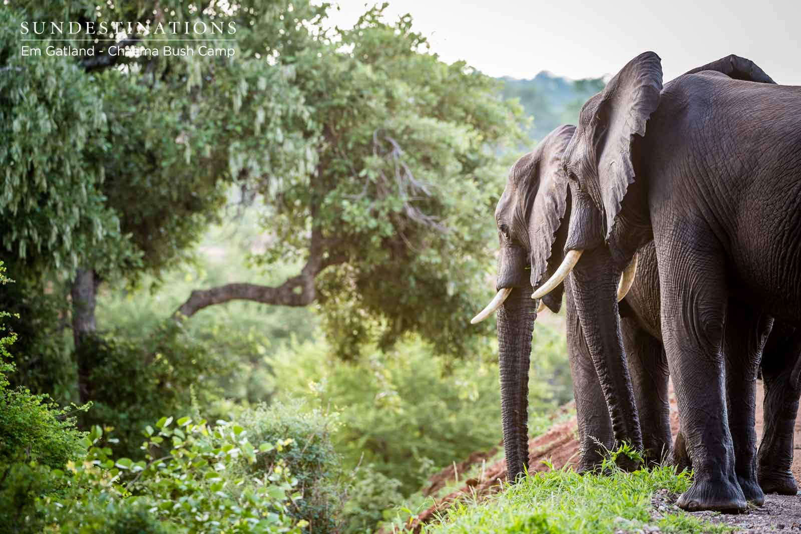 The Week in Pictures : Elephants Gorge on Marula Fruits